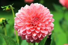 dahlia for 14th anniversary